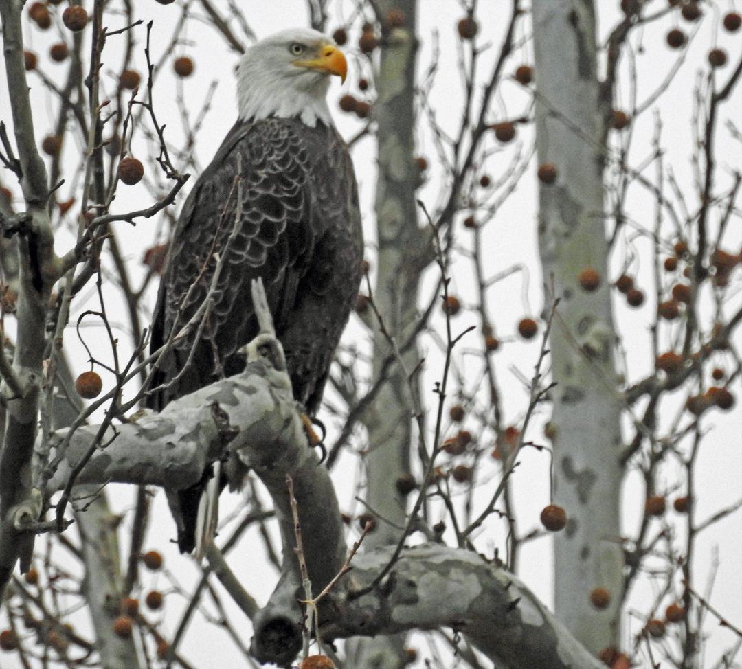 Eagle 11.11.jpg