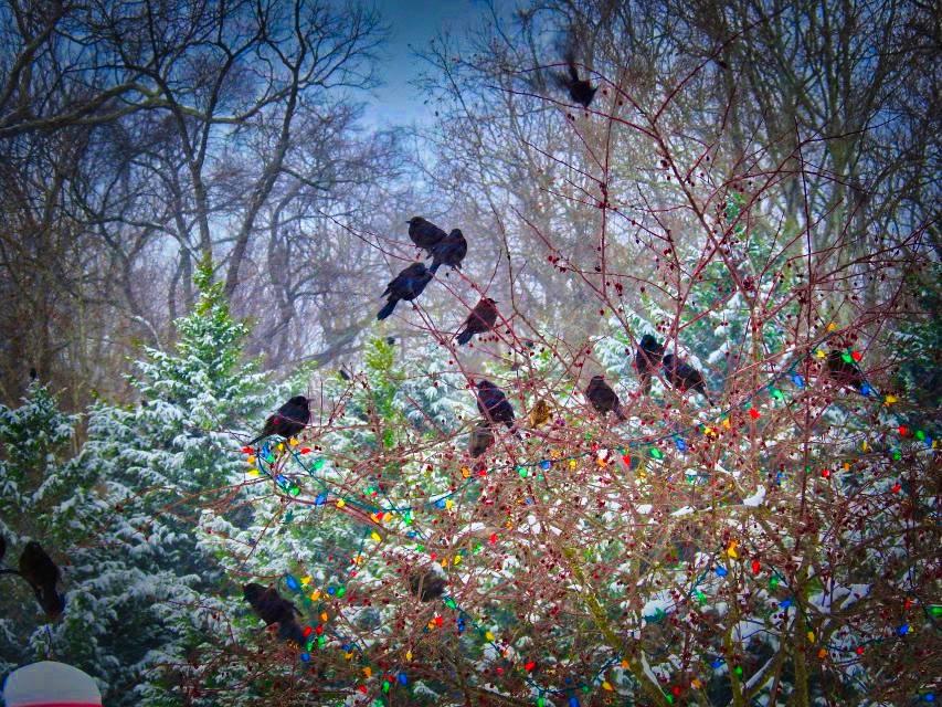 Redwing Black Birds
