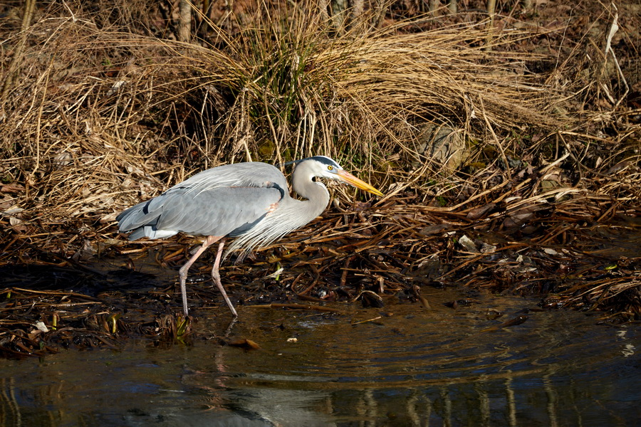 Storm water pond Blue Heron 3 1083 x 624.jpg
