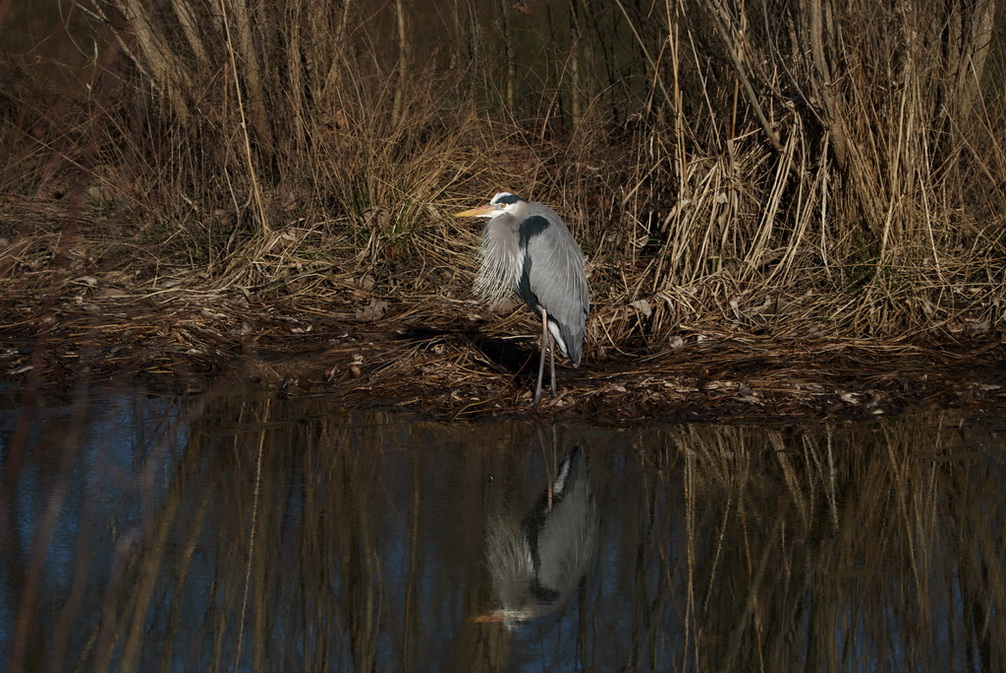 storm_water_great_blue_heron_245_b.jpg