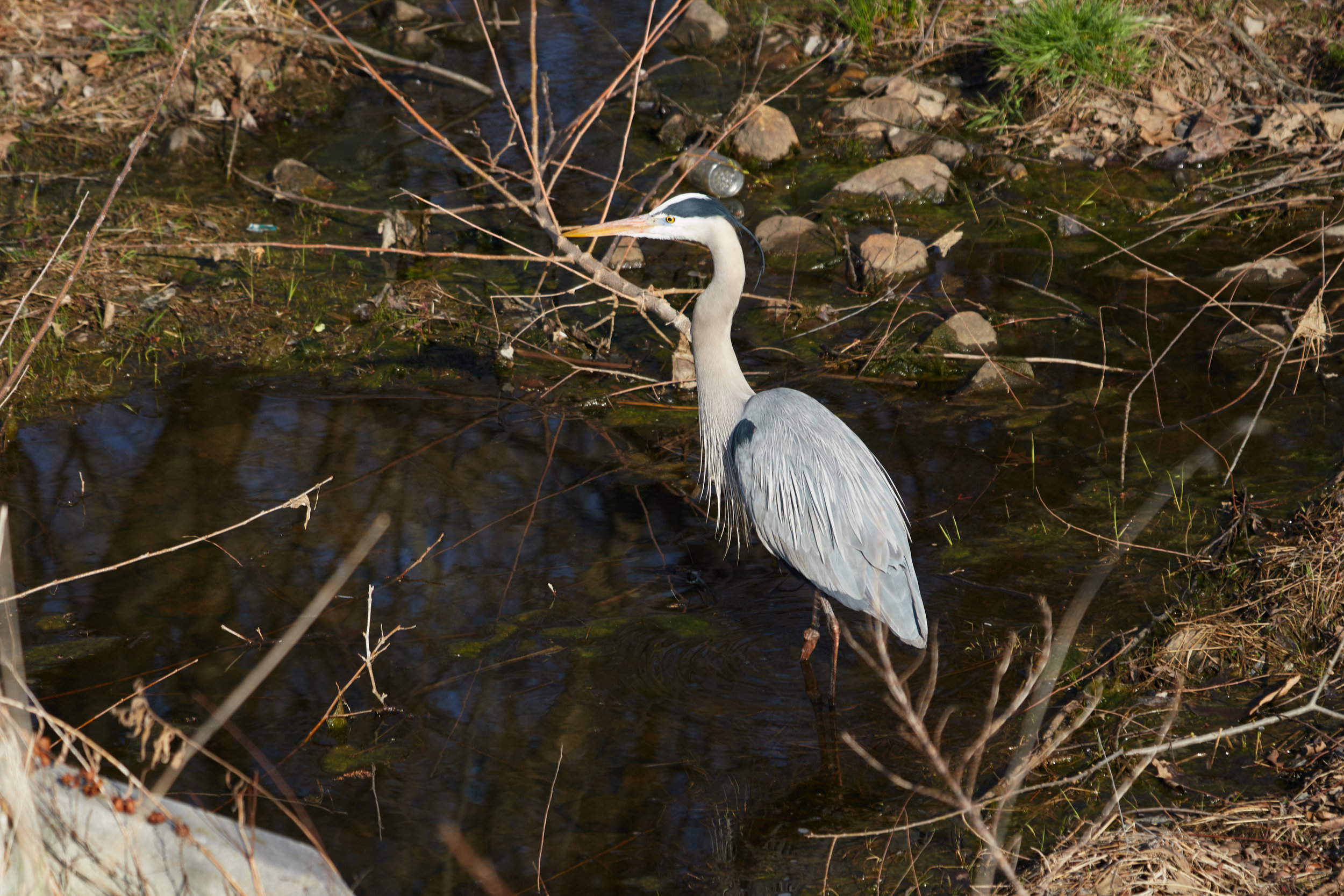 Great Blue Heron  5  Wed_1.jpg