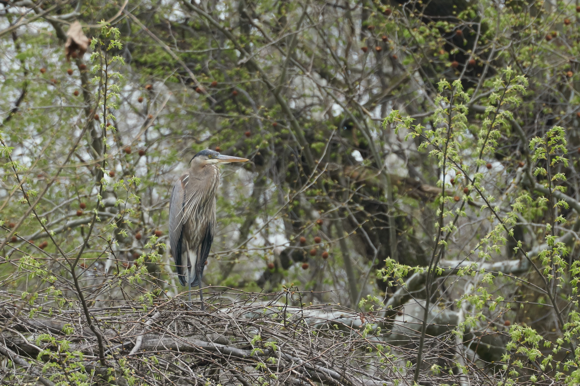 Great Blue Heron 2 May 07 2018_resize.jpg
