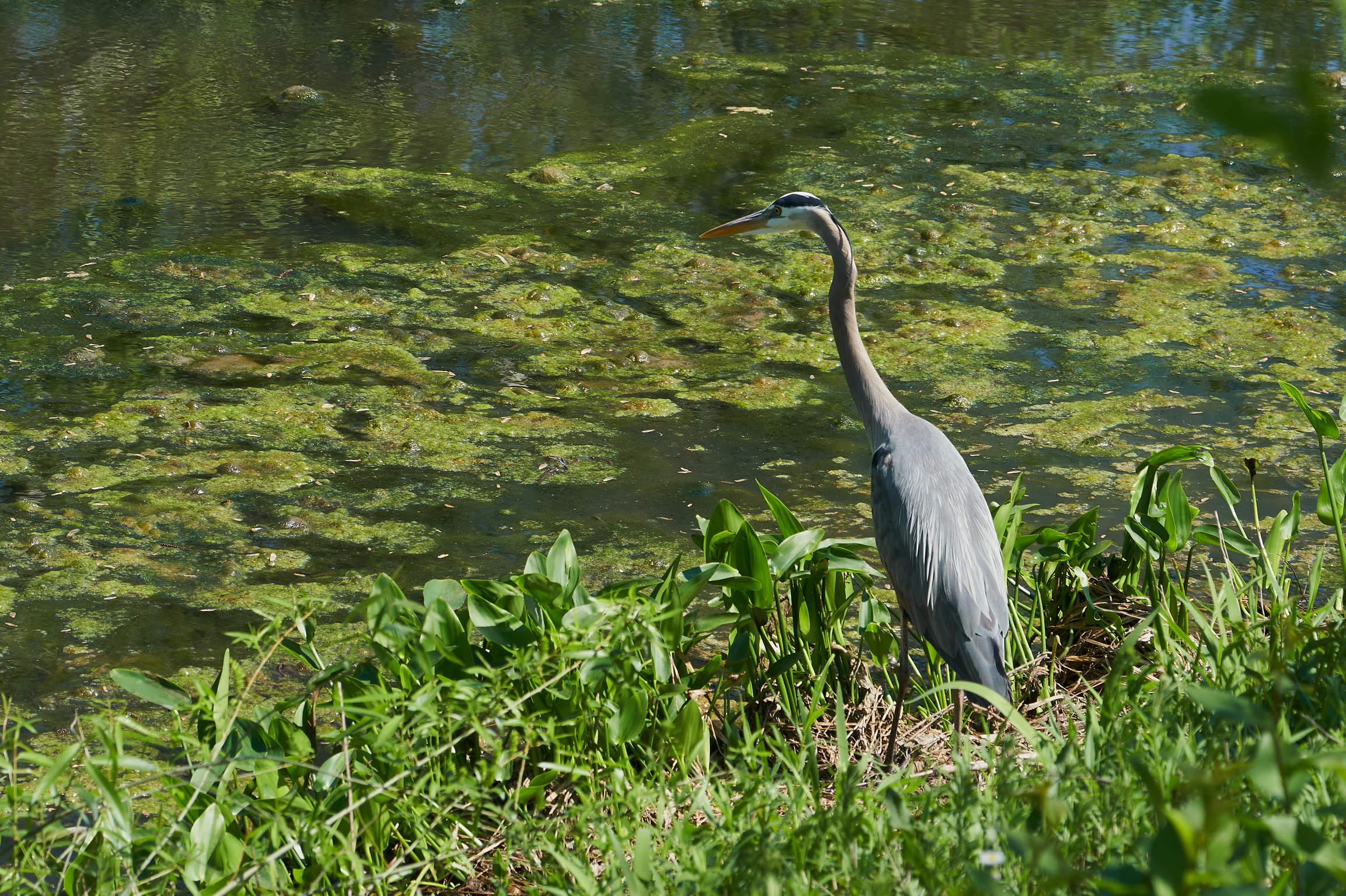 Great blue heron 1 May 09 2018_resize.jpg