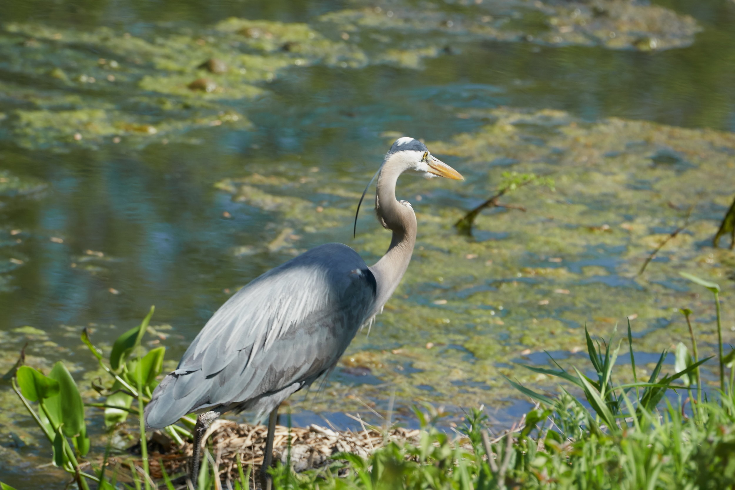 Great blue heron 4 May 09 2018_resize.jpg