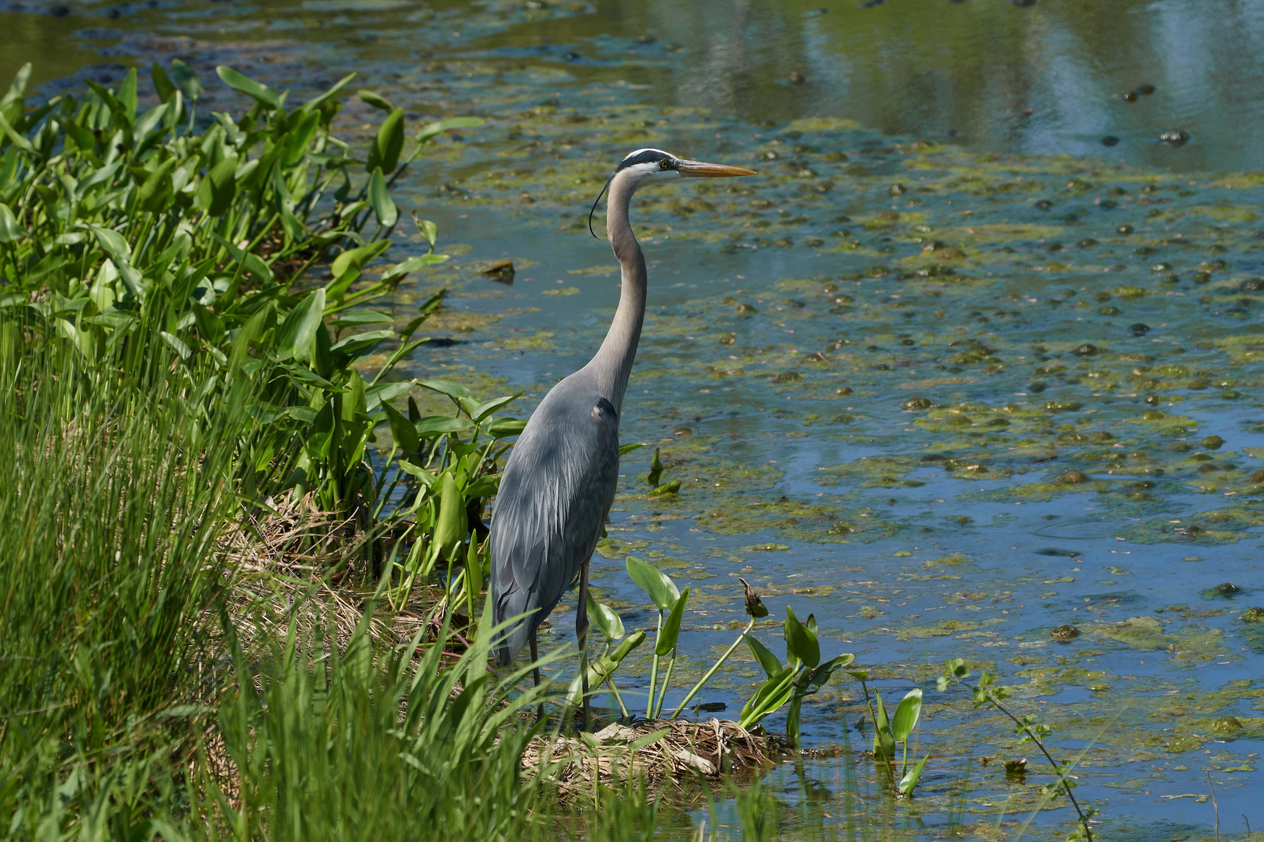 Great blue heron 16 May 09 2018_resize.jpg