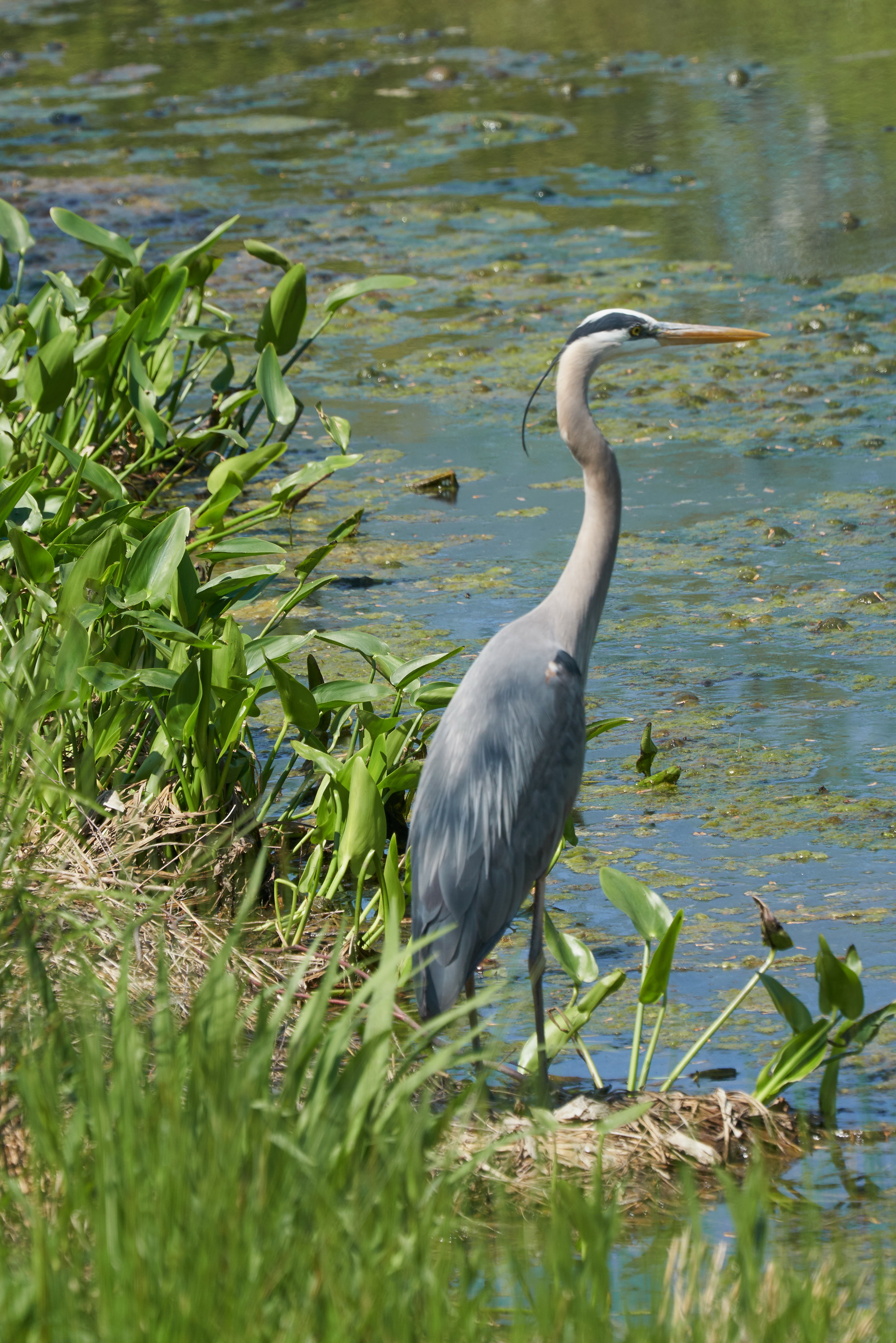 Great blue heron 19 May 09 2018_resize.jpg