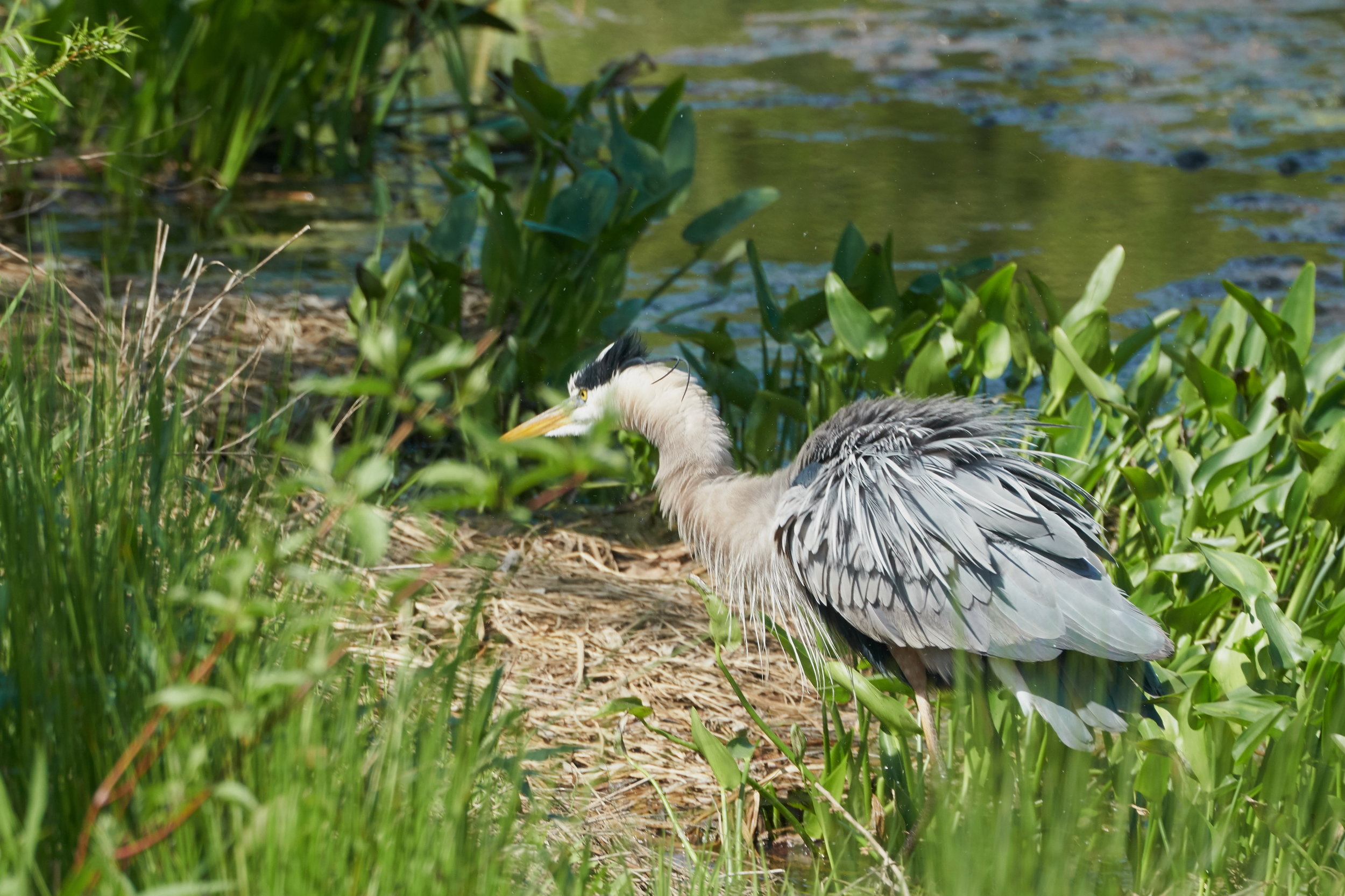 Great blue heron 21 May 09 2018_resize.jpg