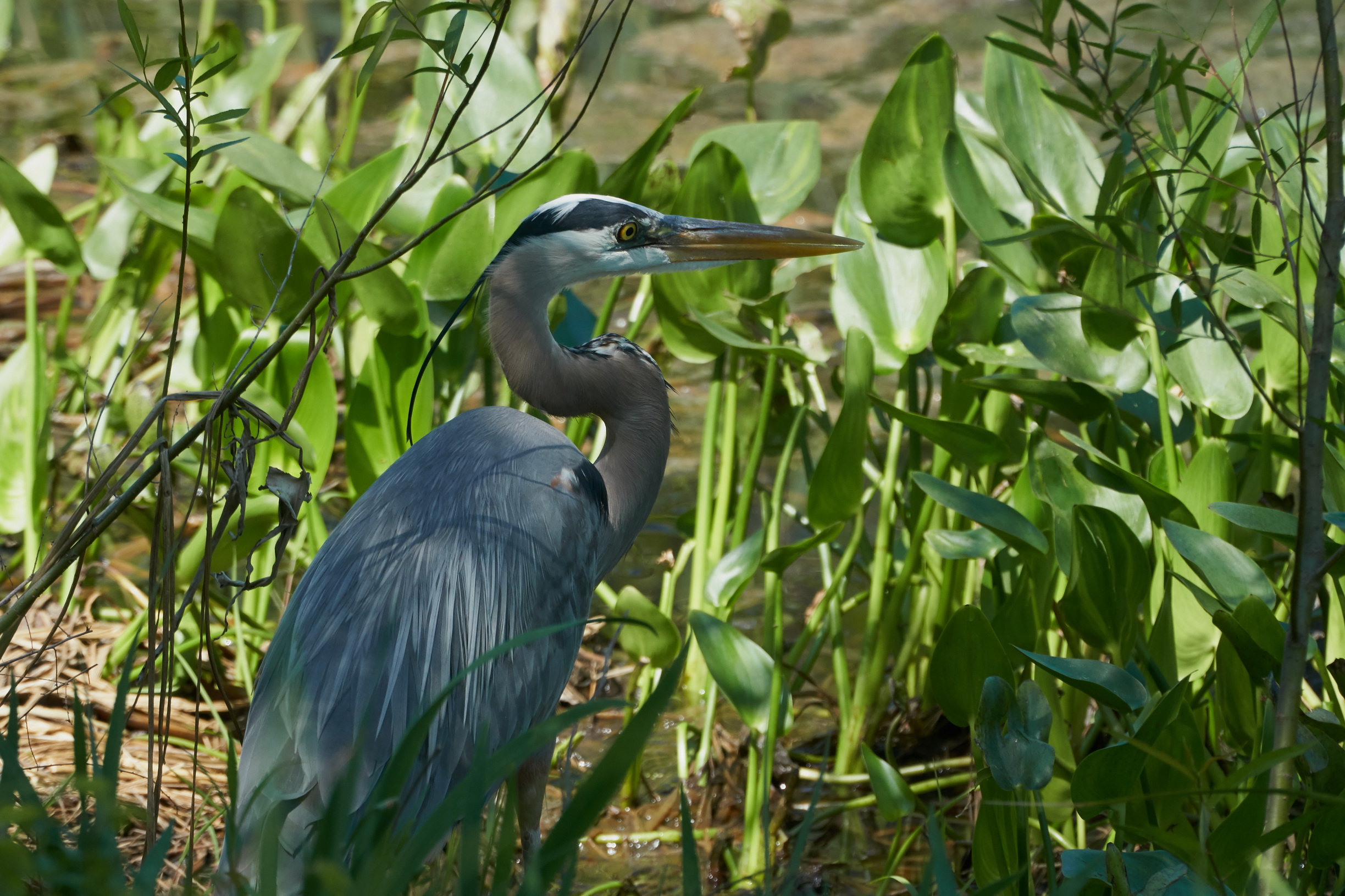Great blue heron 33 May 09 2018_resize.jpg
