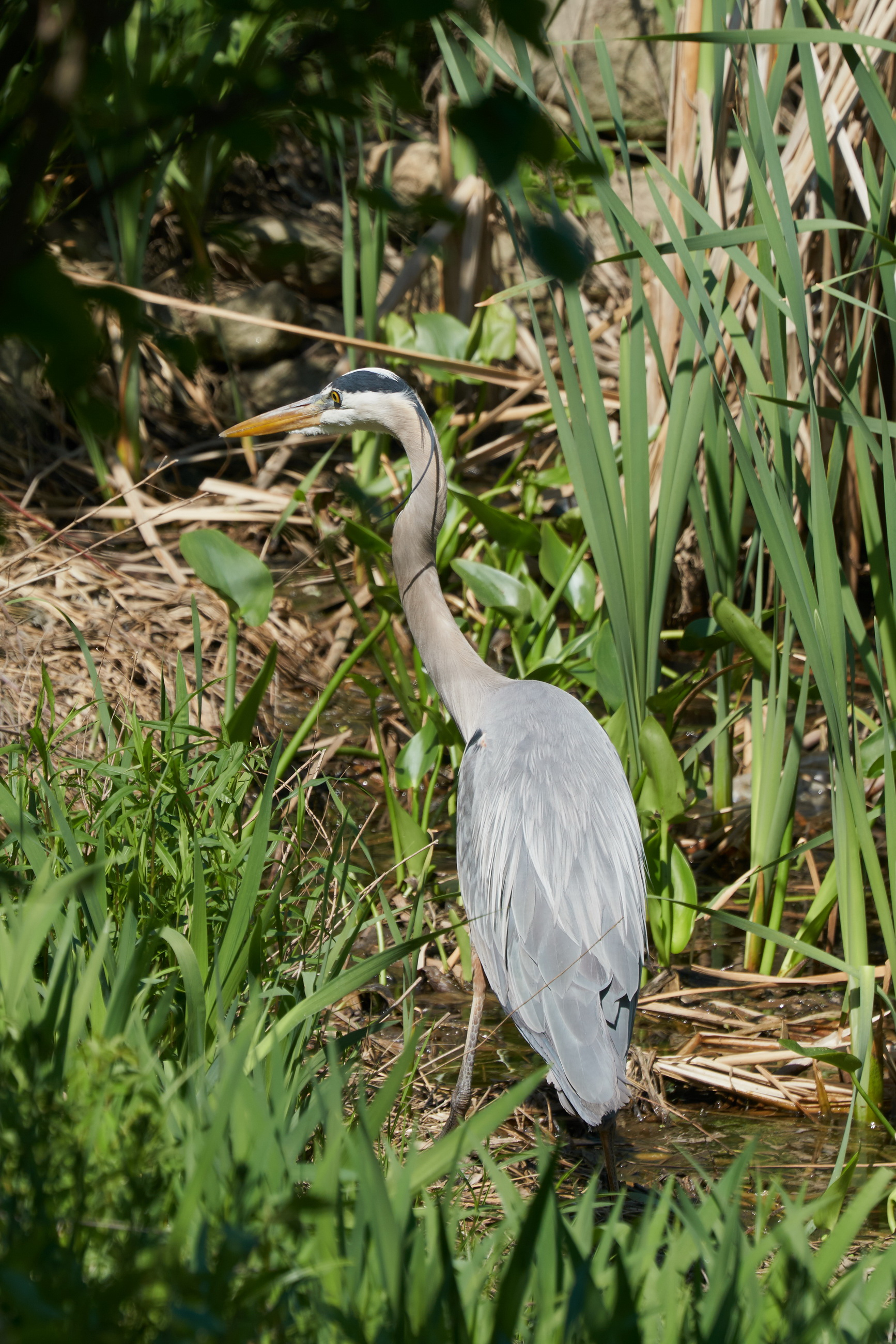 Great blue Heron 39 May 09 2018_resize.jpg