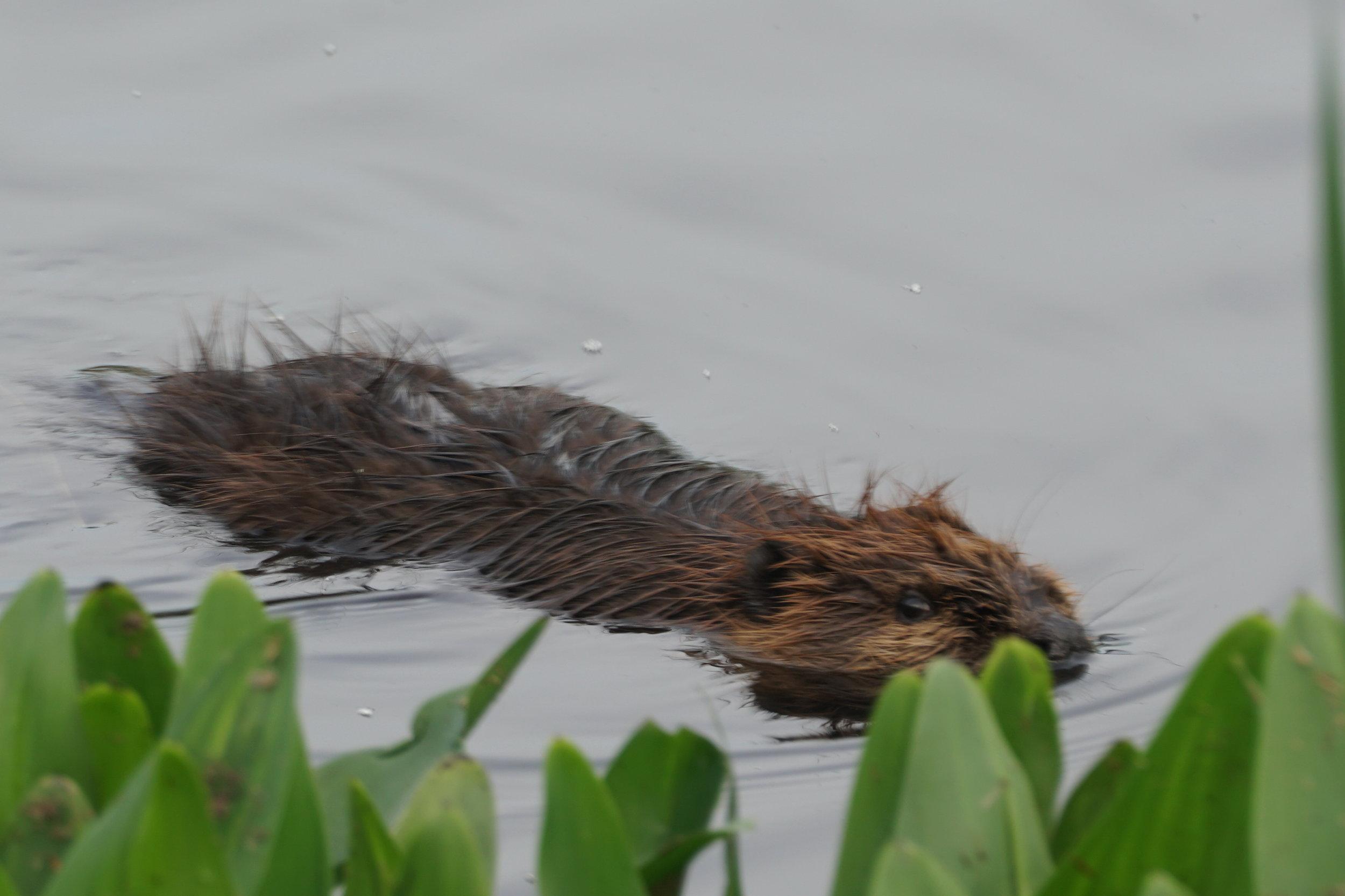 beaver 6.JPG