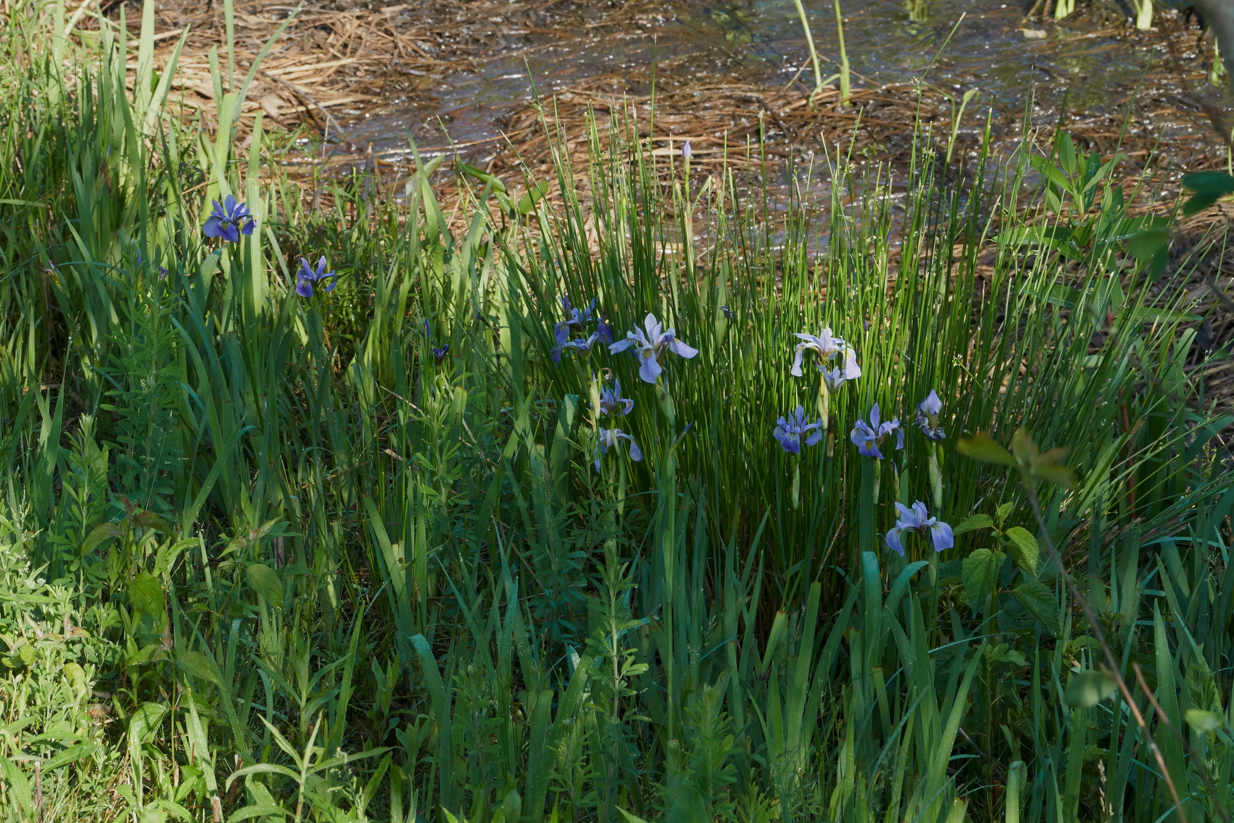 Siberian iris 2 resz storm pond one May 24 2018.jpg