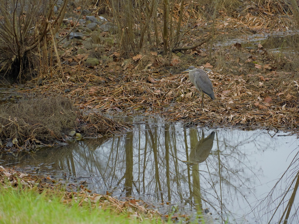 Symphony Village Great Blue Heron 20-44a.jpg