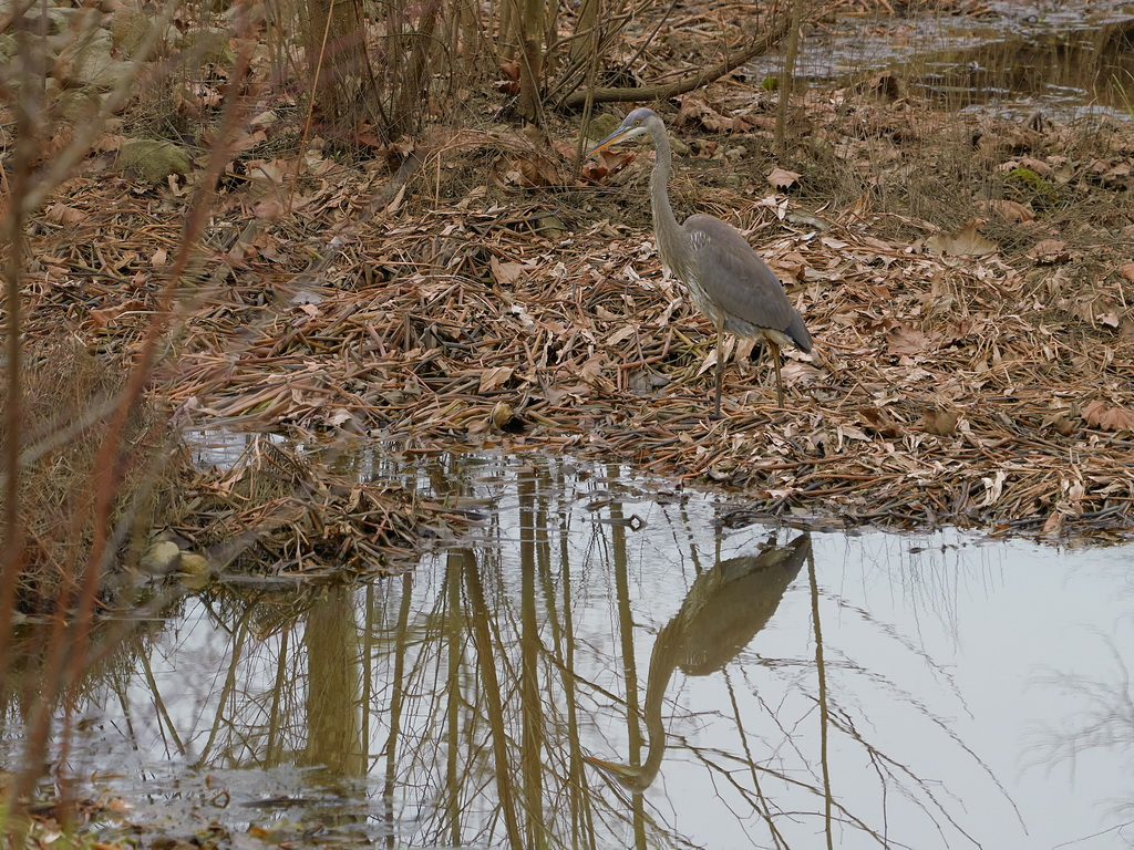 Symphony Village Pond #1 GB Heron 12-25-2018  d.jpg