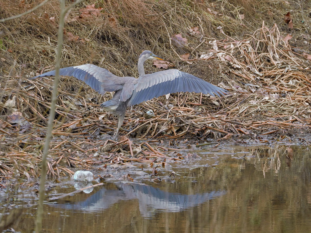 Symphony Village Pond #1 GB Heron 12-25-2018  o.jpg