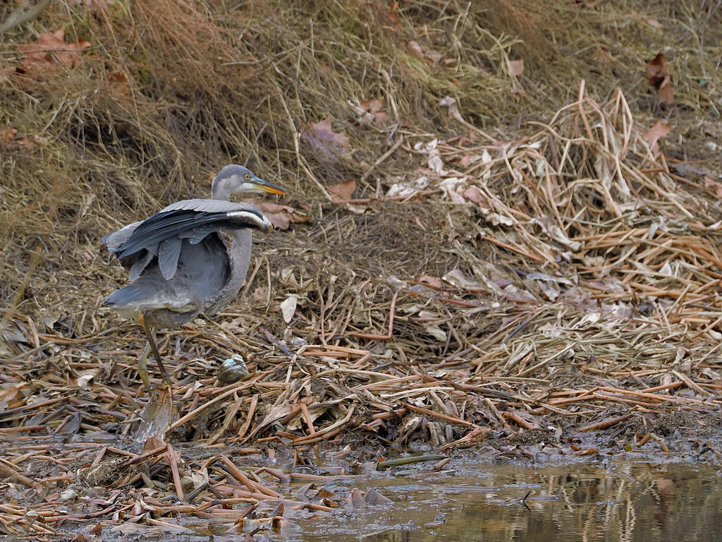 Symphony Village Pond #1 GB Heron 12-25-2018  q.jpg