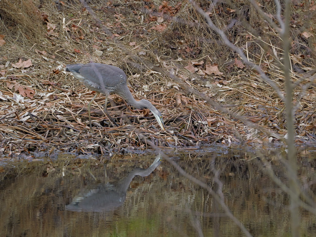 Symphony Village Pond #1 GB Heron 12-25-2018  u.jpg