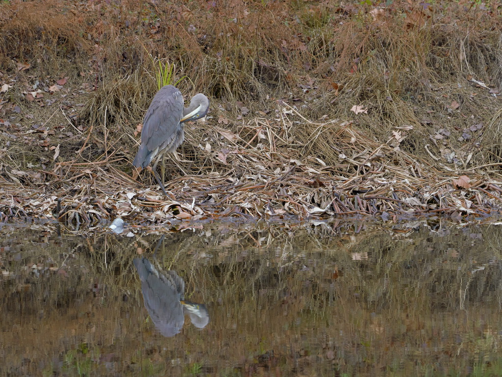 Symphony Village Pond #1 GB Heron 12-25-2018  z480.jpg