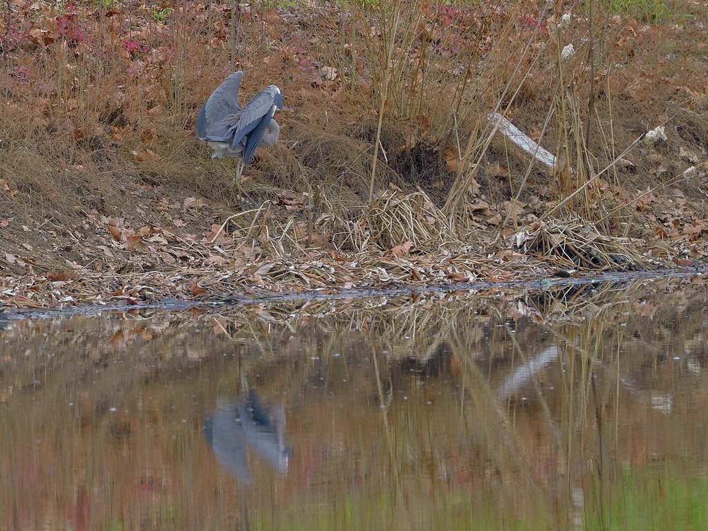 Symphony Village Pond #1 GB Heron 12-25-2018  z496.jpg