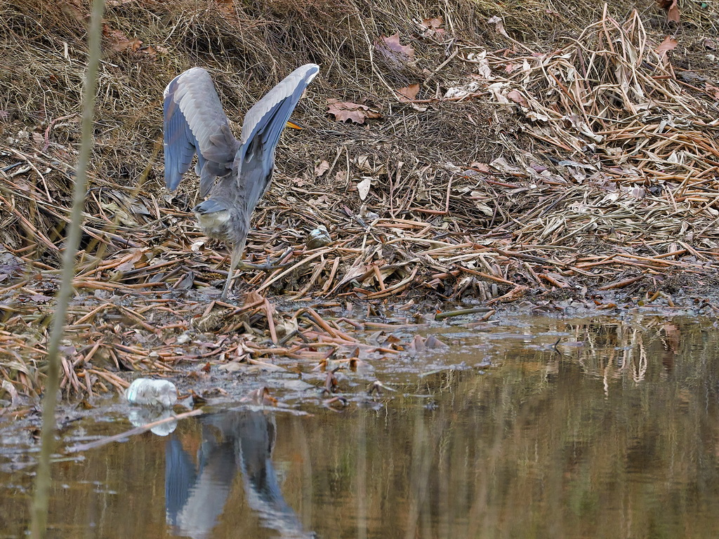 Symphony Village Pond #1 GB Heron 12-25-2018  n.jpg