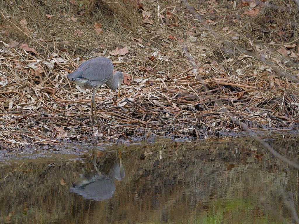 Symphony Village Pond #1 GB Heron 12-25-2018  t.jpg