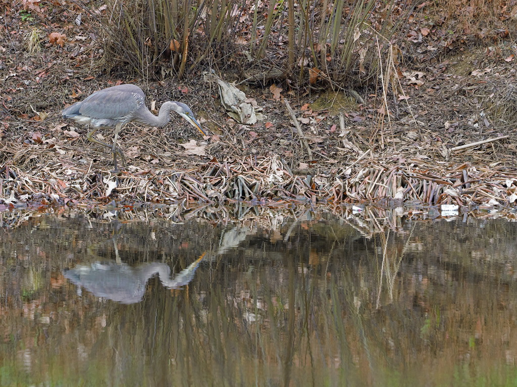 Symphony Village Pond #1 GB Heron 12-25-2018  z1.jpg