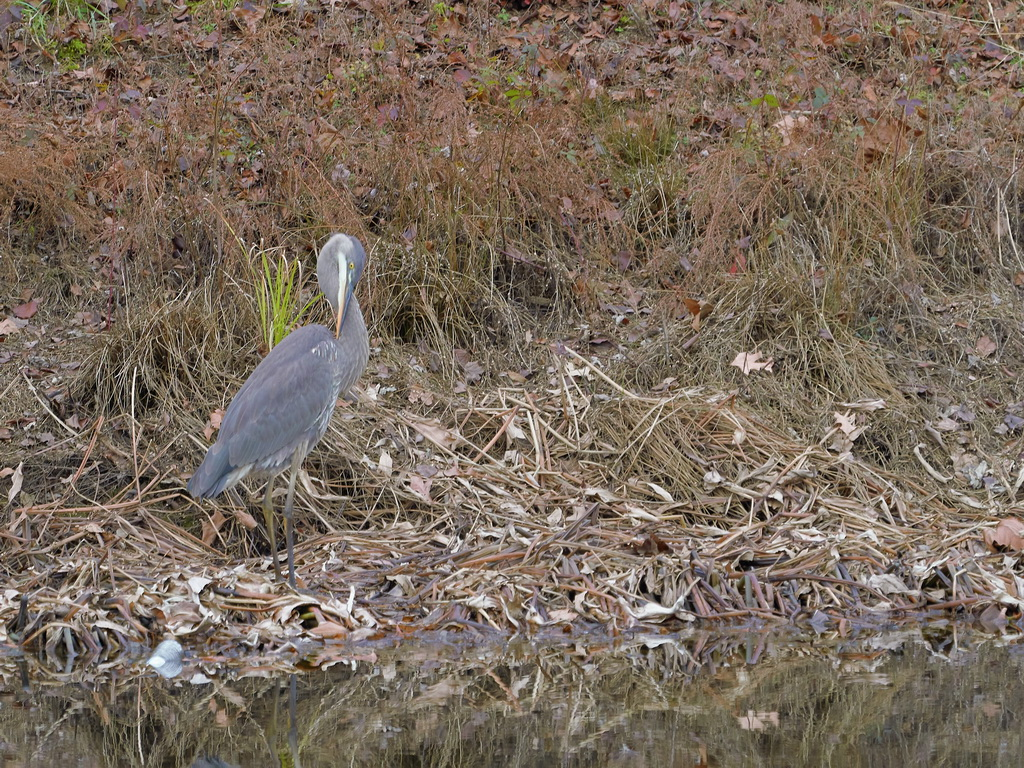 Symphony Village Pond #1 GB Heron 12-25-2018  z478.jpg