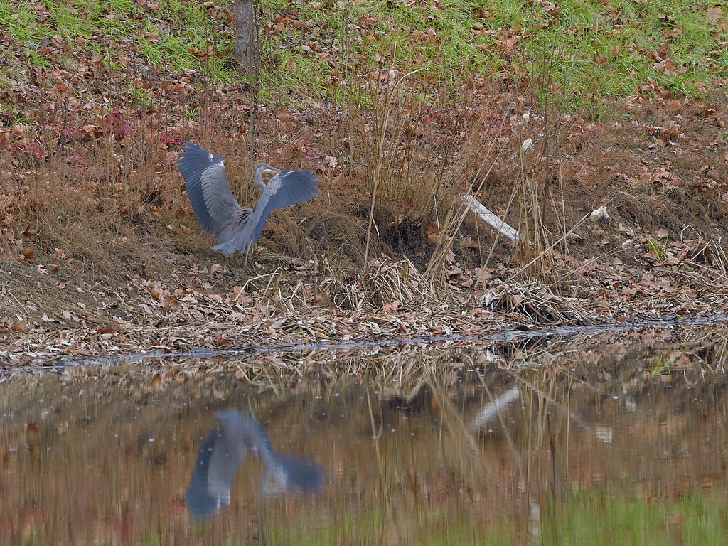 Symphony Village Pond #1 GB Heron 12-25-2018  z495 s.jpg