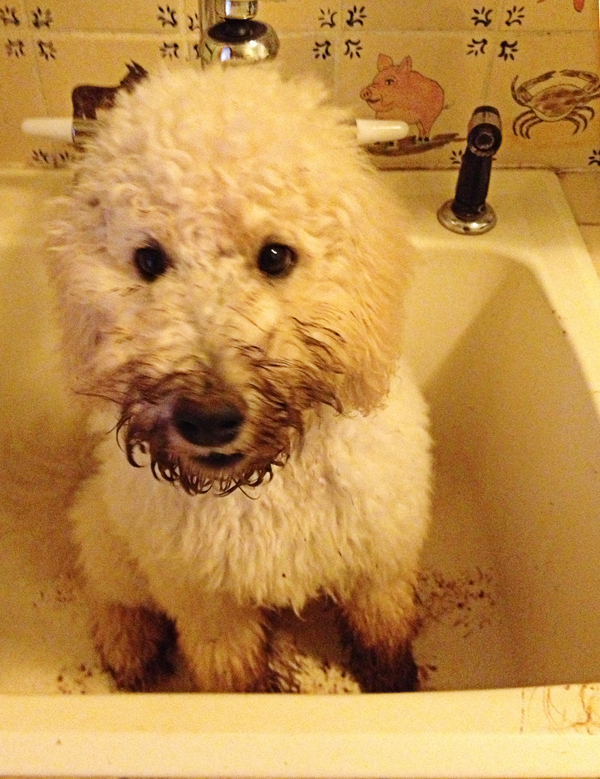 our-goldendoodle-Georgie-at-bathtime-by-blenda-studio