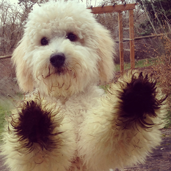 goldendoodle_puppy.jpg