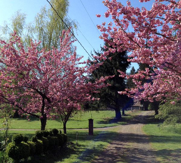 Cherry blossom trees in full bloom on our farm.