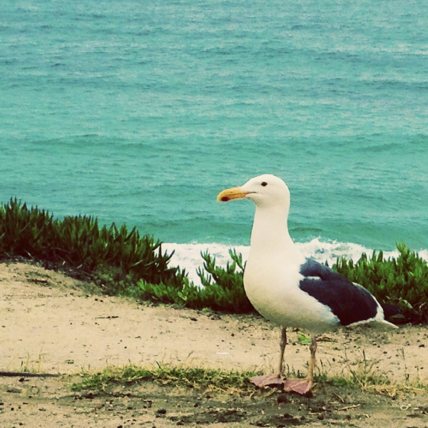 A fancy La Jolla sea gull posed for me by the beach