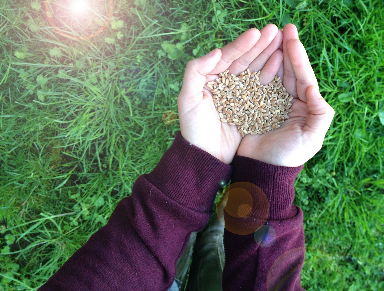 handful of red wheat grass berries