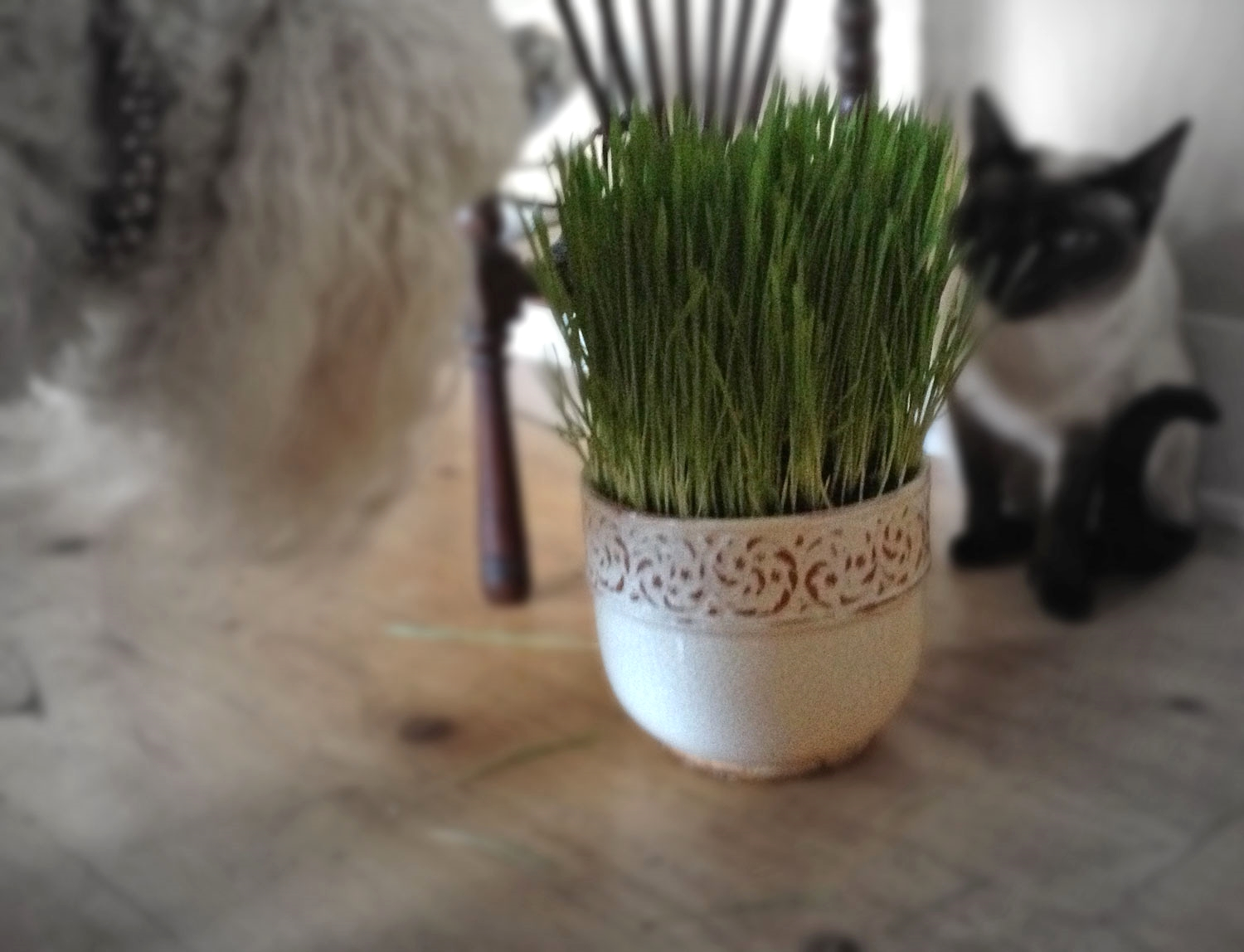 Dogs and cats love wheat berry grass indoors