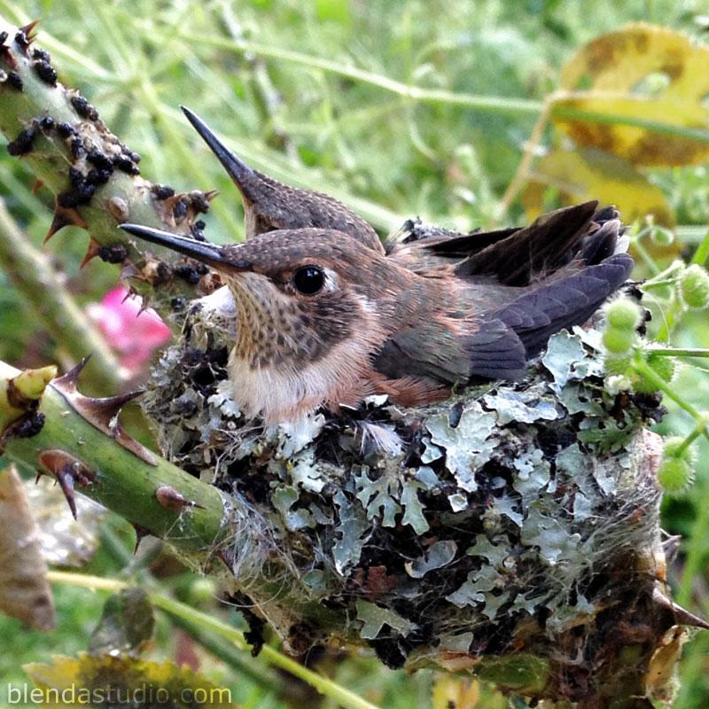 juvenile hummingbirds - blendastudio.com