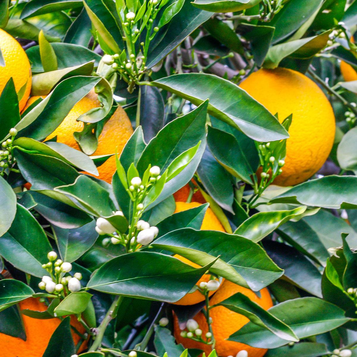 oranges blendastudio