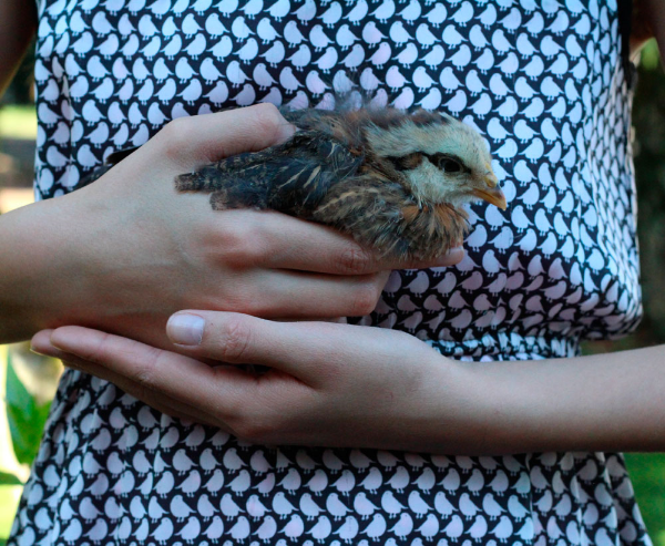 We got six cute little fluffy chicks last fall.