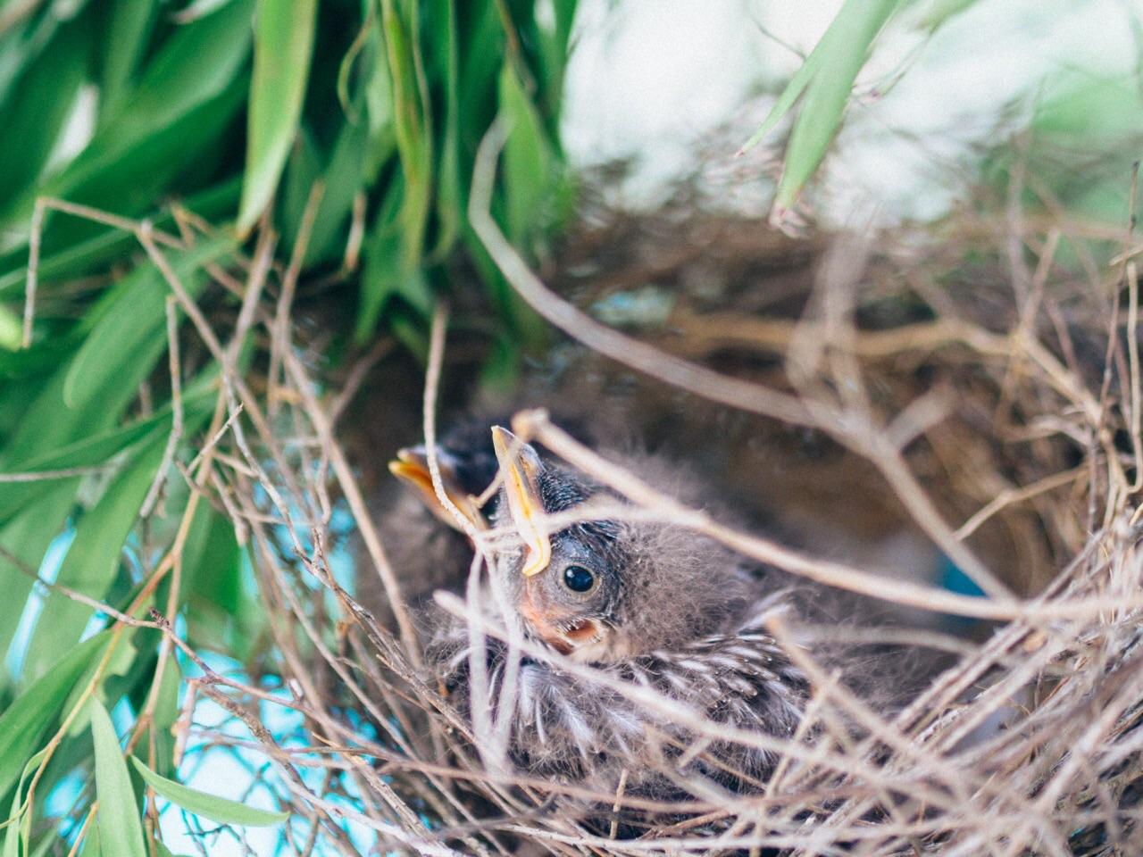 newborn wattle birds