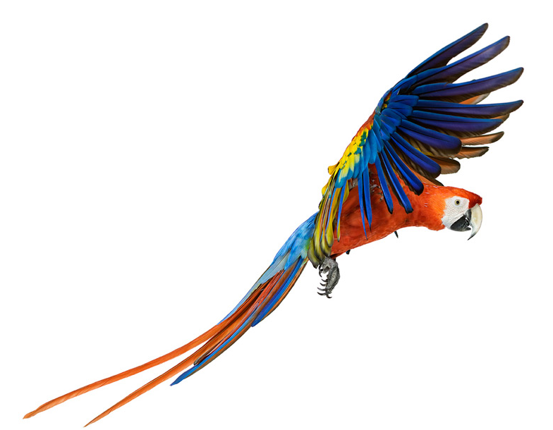 ScarletMacaw.png