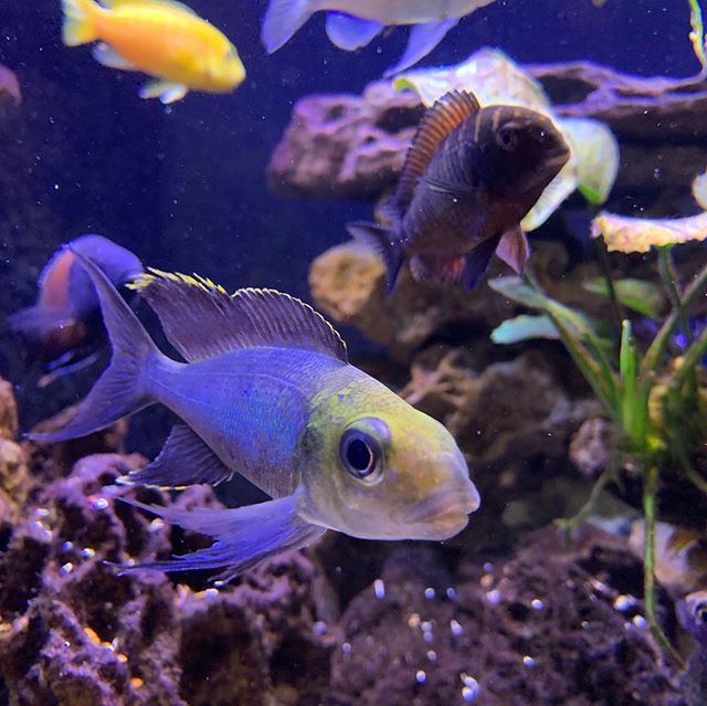 If I could marry a fish it would be this Furcifer Cichlid. Cyathopharynx furcifer. #nofilter #africancichlids #tangkanyika #aquarium