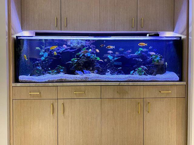 CHICLETS! . . . . . . . . . . #: 🐠 : 🐠 : #africancichlids #plantedtank #a #aquarium #aquascape #acrylic