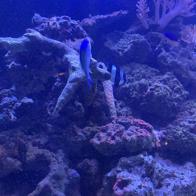 The chromis are spawning @seawitchnyc !!! They laid eggs on the back wall and on this branch. Pretty wild to watch. #aquarium