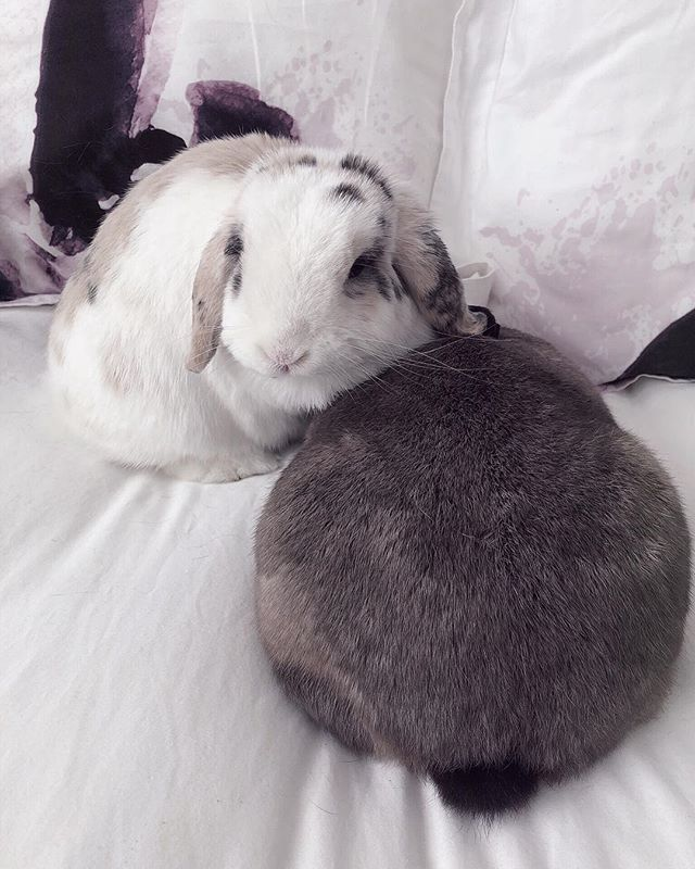 Meet my bunnies, Sugar and Bugs! Do you have any pets? 🐇