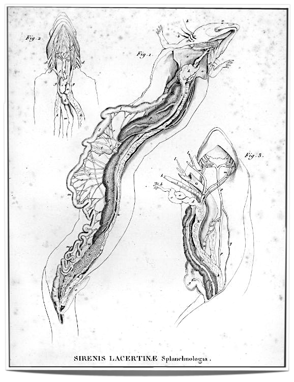 Alexander von Humboldt's drawing of an opened ' Sirene ' (1806) - this man is a prime example of a hunter who was all up for the trophy, rather than living co-creation.