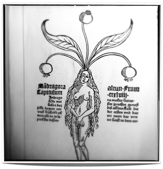 The drawing of the Mandragora in form of a woman - reminding us to think of the bond between us and the living world.
