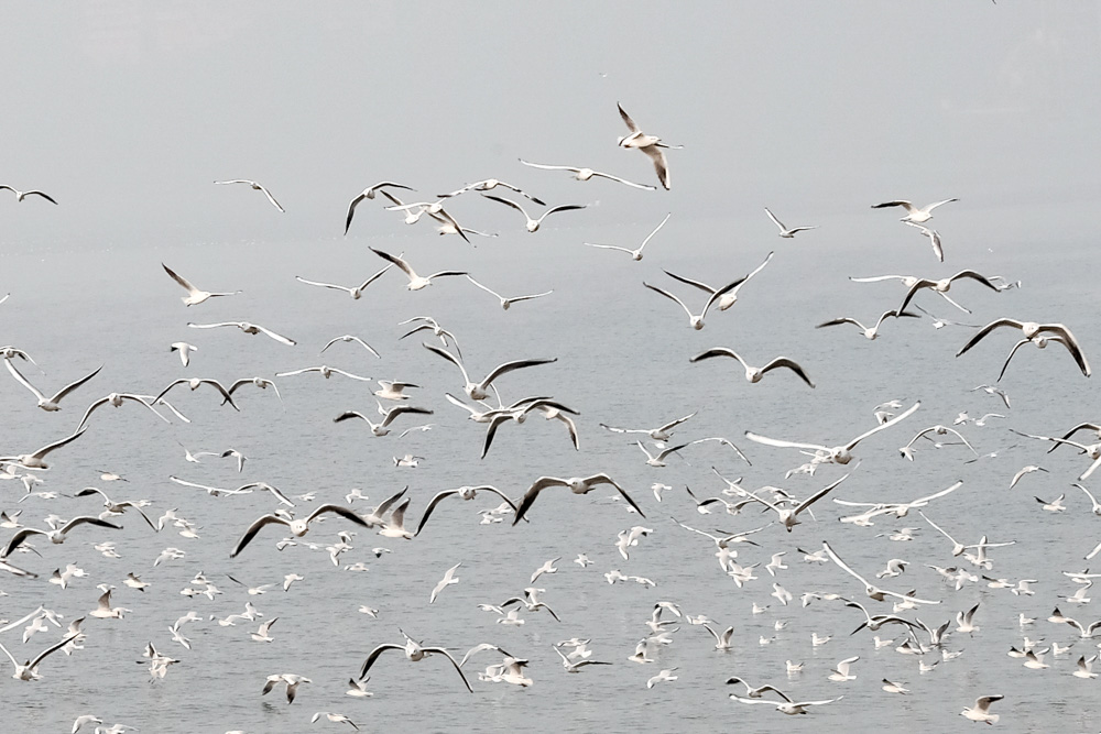sea gulls at Marine Drive take one