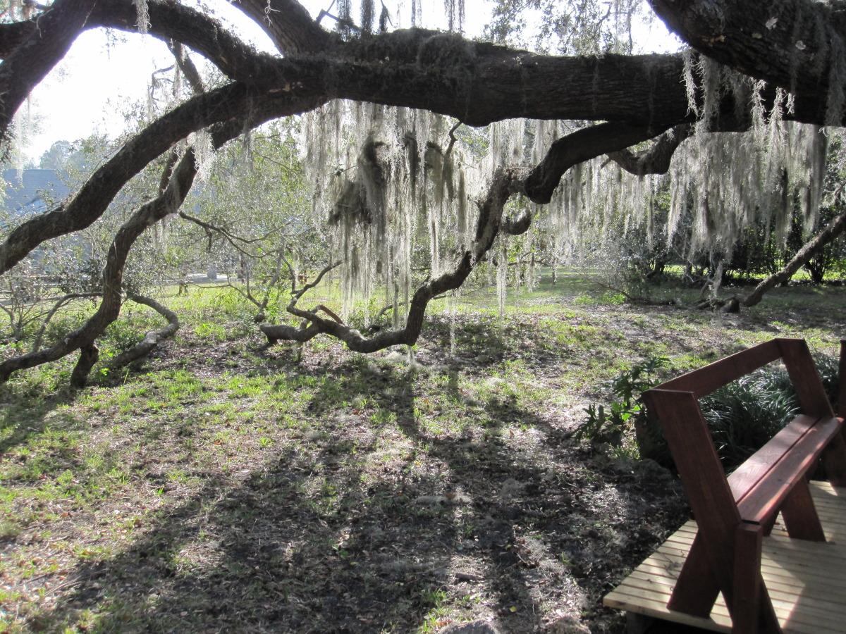 Spanish Moss on the Southern Live Oak.
