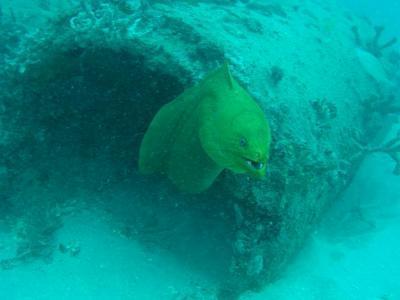 green moray - sea emperor
