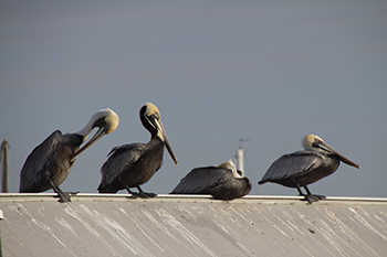 pelicans in tampa florida raw 1 25.jpg