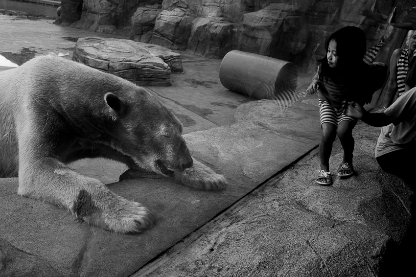 Polar Bear, Singapore Zoo, Nov 2013