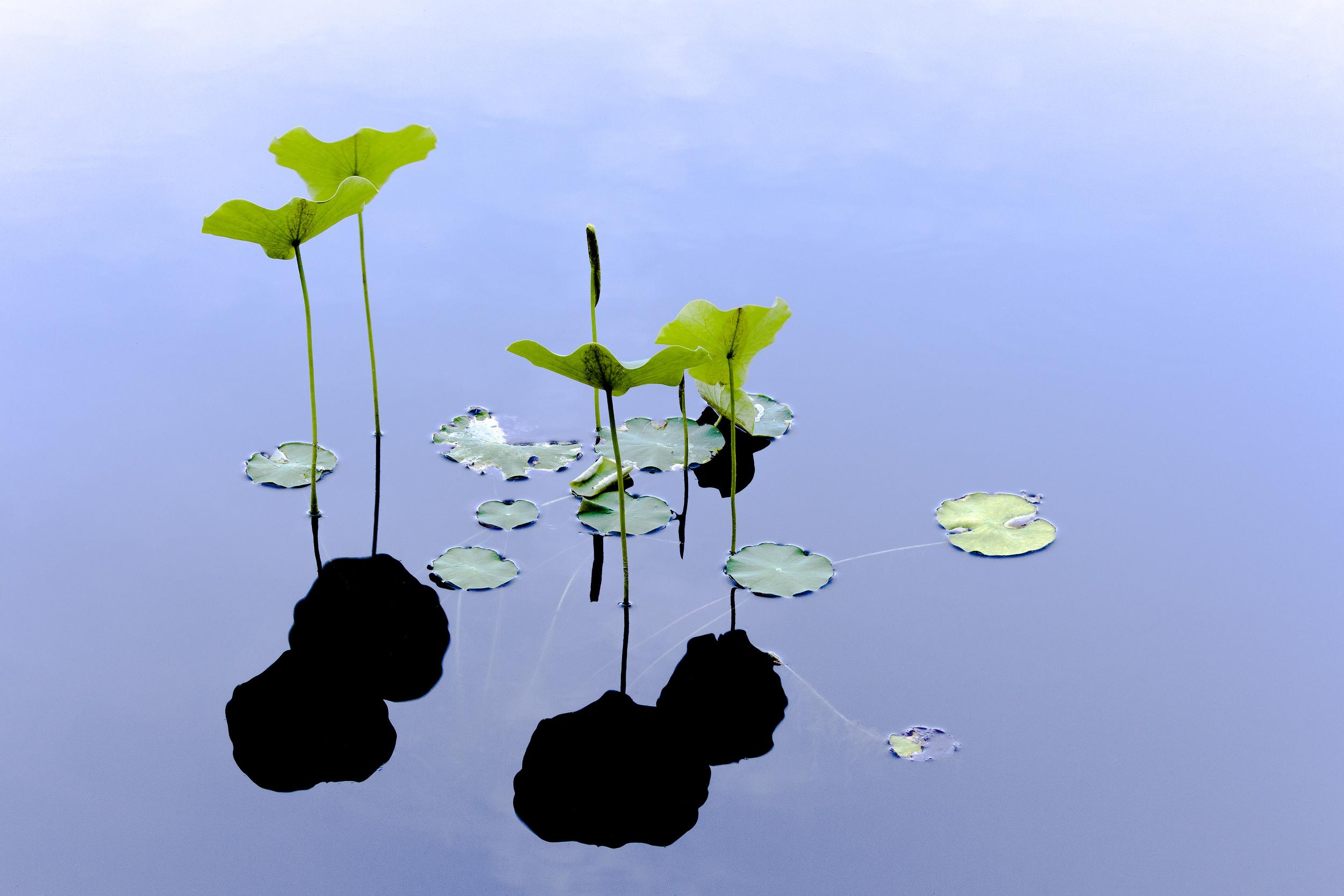 WaterLillies-.jpg